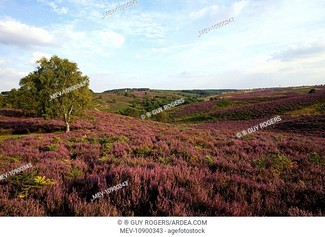 Heather in full bloom on Cannock Chase. with a beautiful view across the heathland - August - Cannock - Staffordshire - England