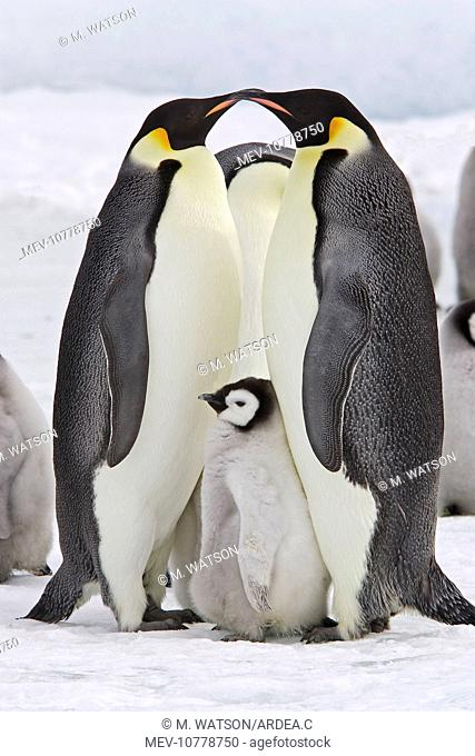Emperor Penguin - two adults with chick (Aptenodytes forsteri)