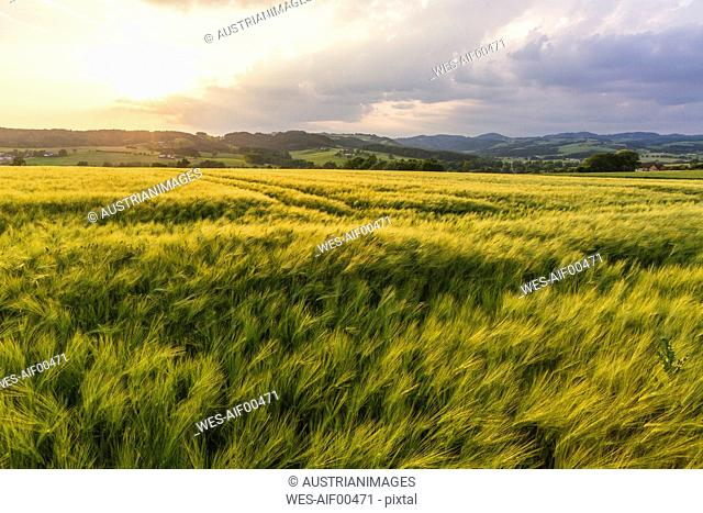 Austria, Upper Austria, Muehlviertel, grain field at evening twilight