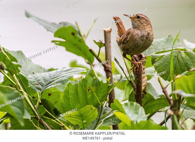 germany, saarland, homburg - A little wren is searching for fodder