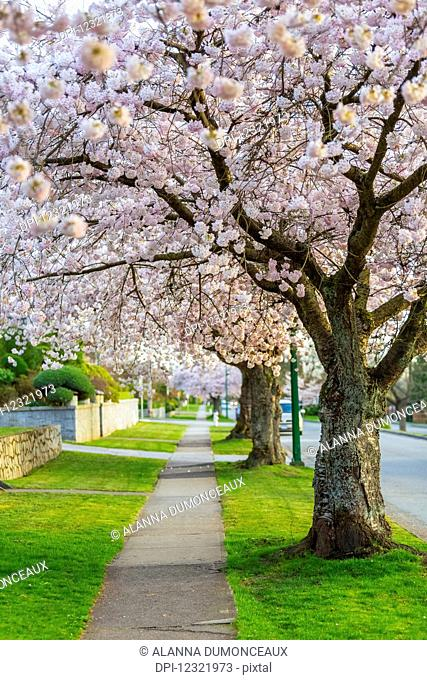 A cherry blossom tree lined side walk in the spring, a perfect pathway for a leisurely stroll to enjoy the outdoors; Burnaby, British Columbia, Canada