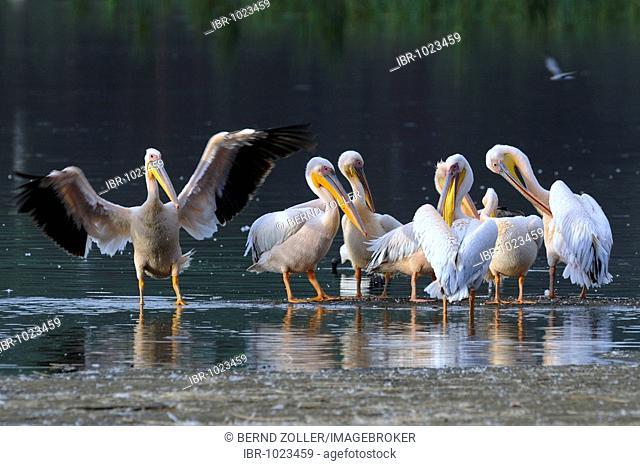 Group of White Pelicans (Pelecanus onocrotalus) cleaning their plumage, Lake Nakuru, national park, Kenya, East Africa