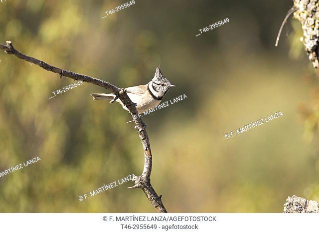 European crested tit (Lophophanes cristatus). Sierra de Guadarrama, Madrid province, Spain