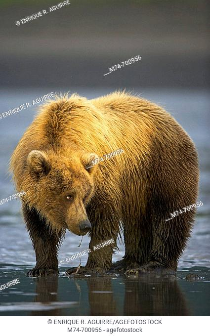 Grizzly Bear (Ursus arctos horribilis) looking for clams on a beach at low tide, Lake Clark NP, Cook Inlet, Alaska