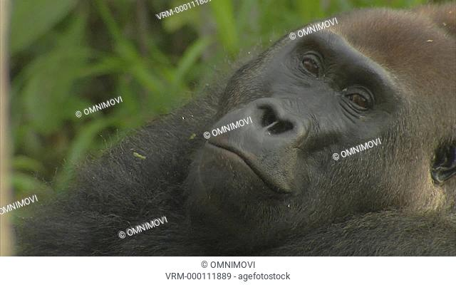 Face of Mikumba the Silverback Western Lowland Gorilla eating