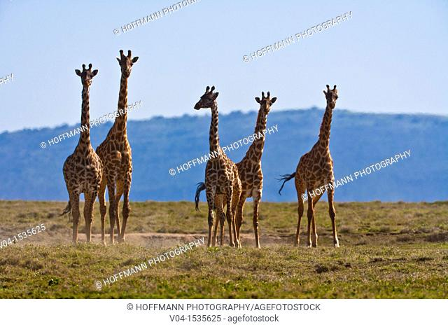 A small herd of Masai giraffes (Giraffa camelopardalis) in the Serengeti National Park, Tanzania, Africa