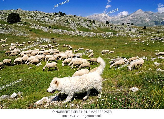 Flock of sheep with a shepherd dog, Campo Imperatore, Gran Sasso National Park, Abruzzo, Italy, Europe
