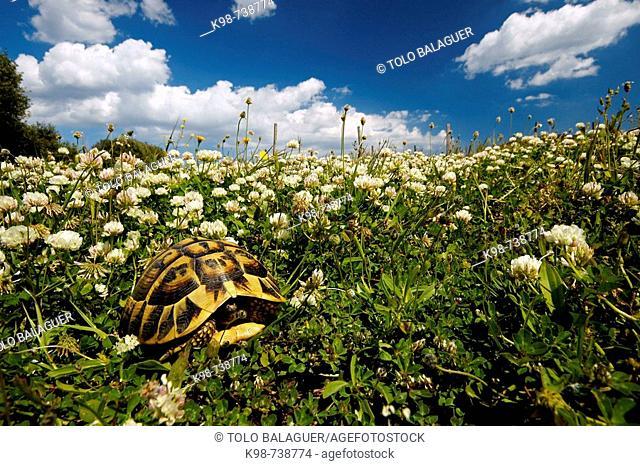 Spur-thighed Tortoise (Testudo graeca), Es Grau. Minorca, Balearic Islands, Spain