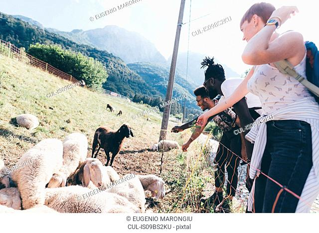 Young adult hiker friends looking at sheep in rural field, Primaluna, Trentino-Alto Adige, Italy