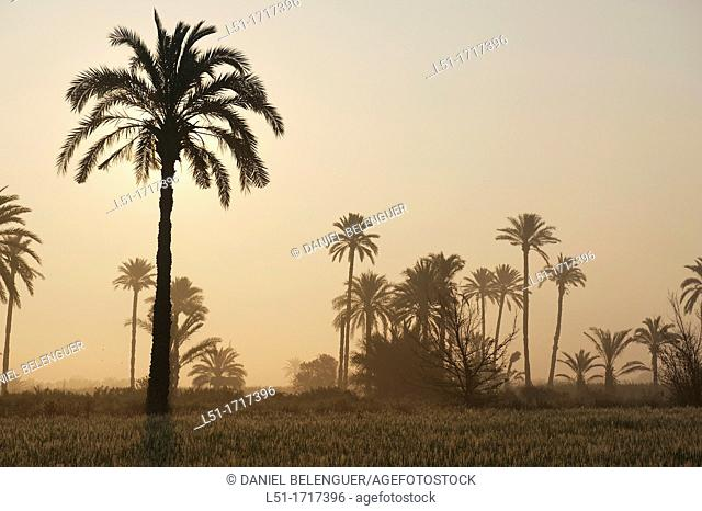 Palm trees on a cereal field at sunrise, Elche, Alicante, Spain
