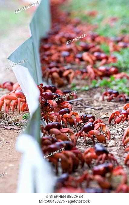 Christmas Island Red Crab (Gecarcoidea natalis) group walking along temporary crab barrier during annual migration, Christmas Island, Australia