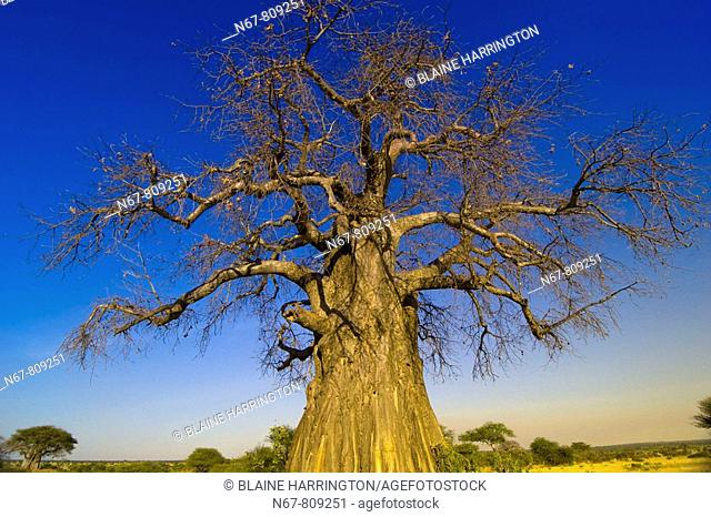 Baobab tree, Tarangire National Park, Tanzania