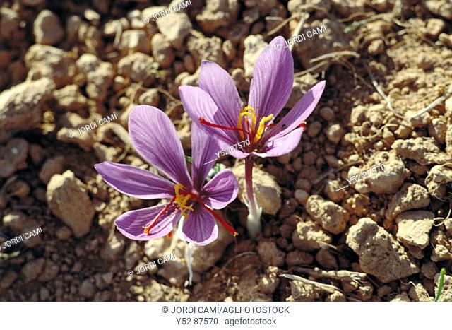 Saffron flowers. Consuegra, Toledo province, Castile-La Mancha, Spain