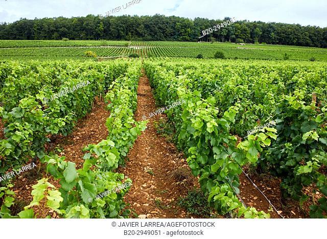 Pinot noir vineyards, Aloxe-Corton, Côte de Beaune, Côte d'Or, Burgundy Region, Bourgogne, France, Europe