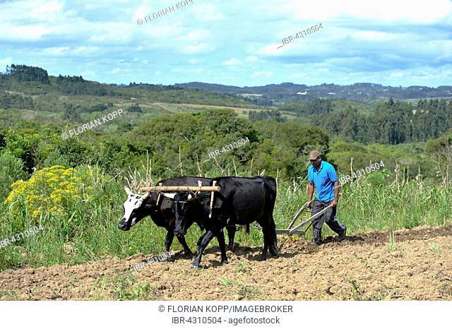 Farmer plowing field with wooden plough, yoke of oxen, Afro-Brazilian settlement Quilombo Monjolo, Sao Lourenco do Sul, Rio Grande do Sul, Brazil