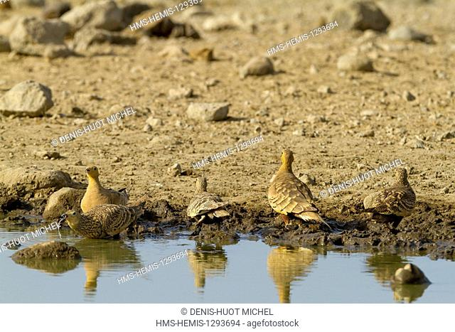 Kenya, lake Magadi, yellow-throated sandgrouse (Pterocles gutturalis), drinking