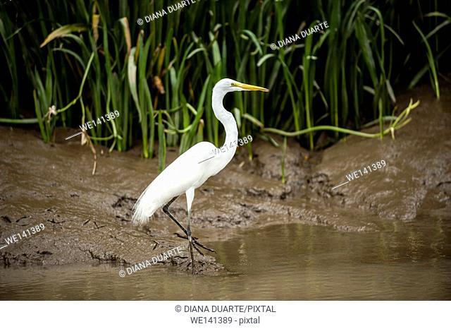 'Great Egret' (Ardea alba), The head plumes form a short crest. The aigrette plumes of the neck are long and filamentous
