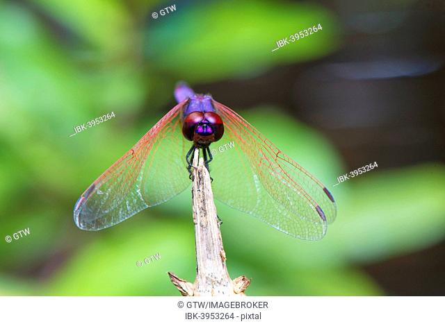 Dragon fly, Maroantsetra, Madagascar