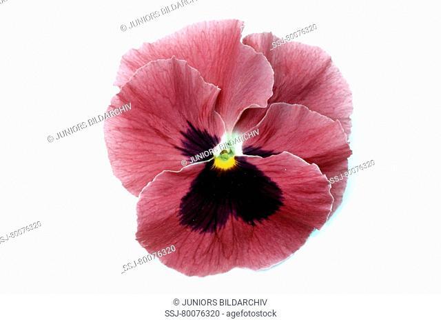 DEU, 2004: Garden Pansy, Pansy (Viola x wittrockiana), flower, studio picture