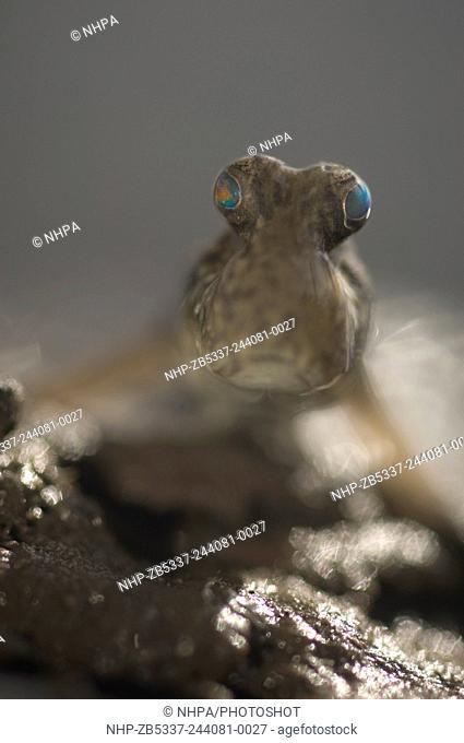 Mudskipper, periophalmus argentilineatus, Fiji