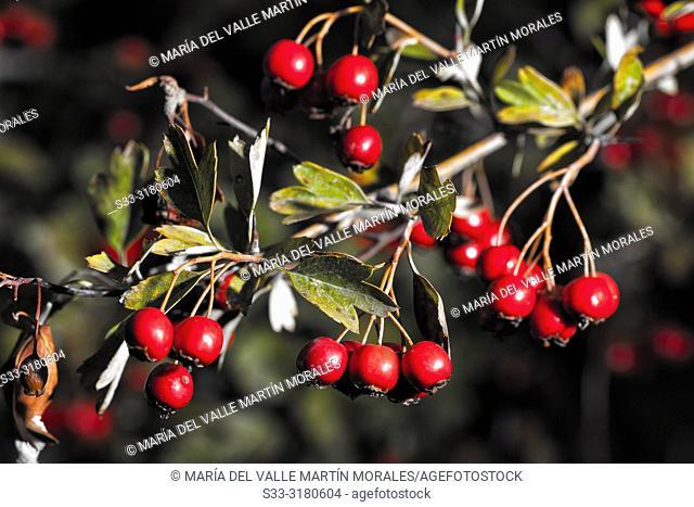 Red berries in autumn time. Avila. Spain