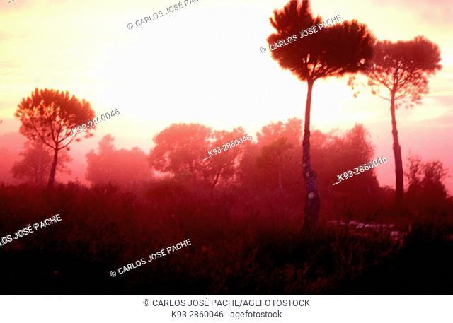Amanecer en el pinar dentro del Parque Nacional de Doñana