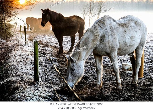 Dutch foggy winter landscape with horses and a sunset