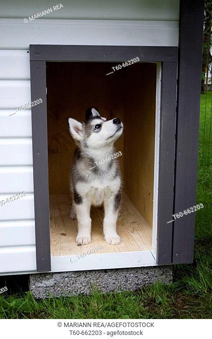 Alaskan Malamute puppy in kennel