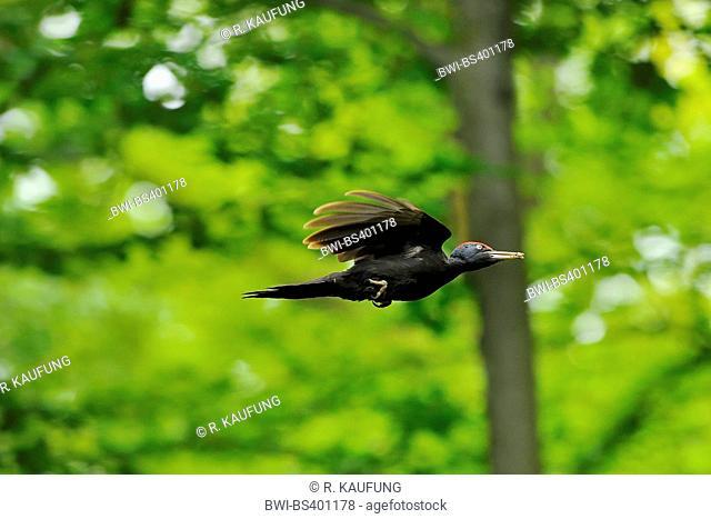 black woodpecker (Dryocopus martius), in flight with prey in the bill, Germany, North Rhine-Westphalia