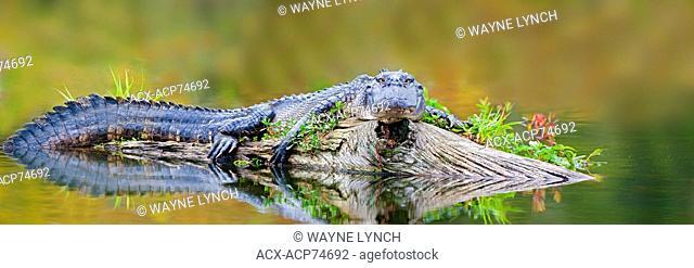 Basking American alligator (Alligator mississippiensis), Achafalaya Swamp, southern Louisiana, USA