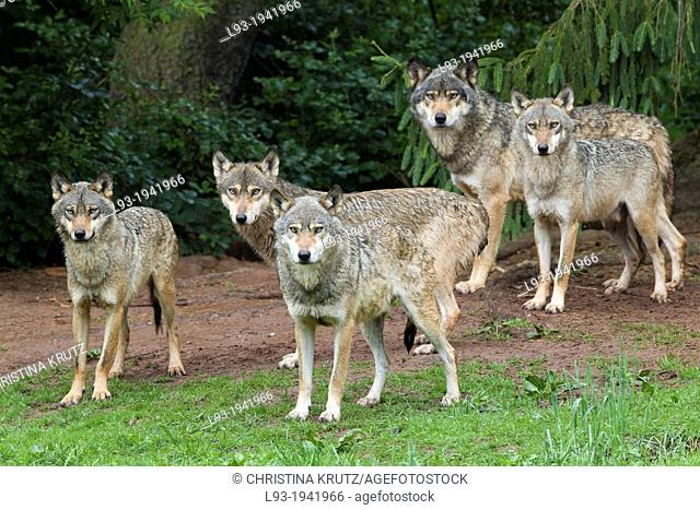 European gray wolf, Canis lupus lupus, pack, Germany