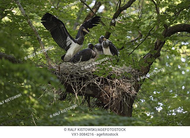 Black Stork ( Ciconia nigra ), offspring, nestlings, almost fledged, fluttering with wings, in typical nest, eyrie hidden in a treetop, wildlife, Europe