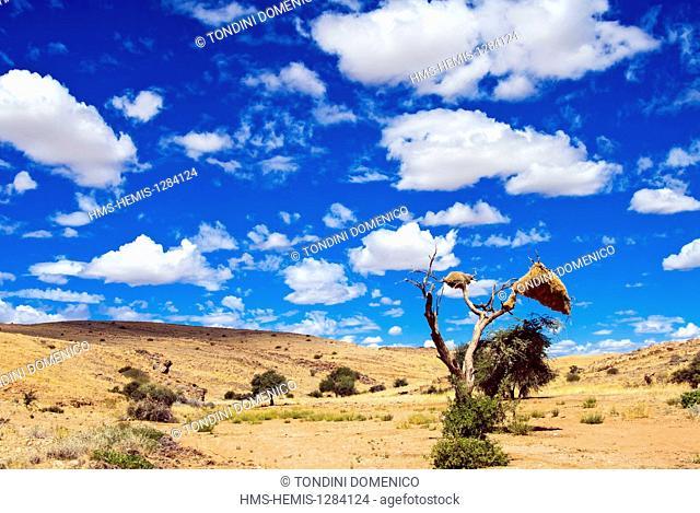 Namibia, Hardap region, Namib desert, Thorn acacia tree with nest of Sociable Weavers or Social Weavers (Philetairus socius)