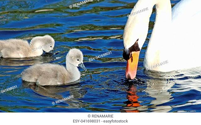 Mute Swan mother and her two tiny baby Cygnets swim and feed in the water