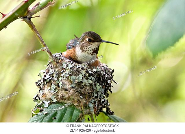 Rufous humming selasphorus rufous bird sitting on her nest with two babies below her You can see one small beek sticking up on the left