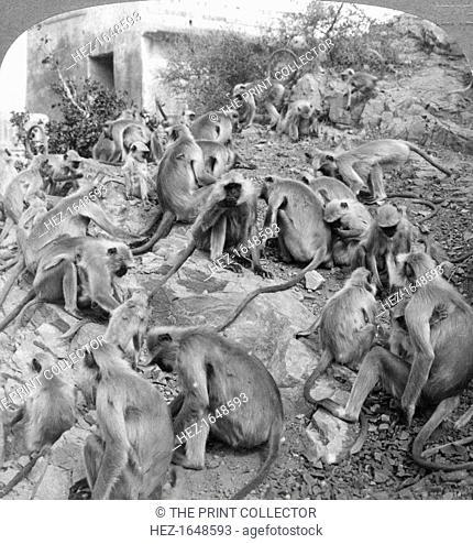 'Sacred' monkeys at Galta, near Jeypore, India, 1904. Stereoscopic card. Detail