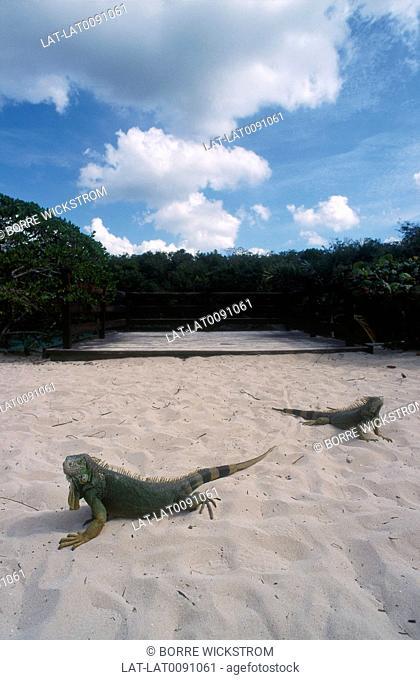 Beach. White sand. Iguana lizards resting on the sand