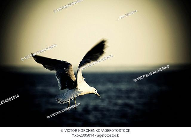 Seagull flying over Lake Ontario waters