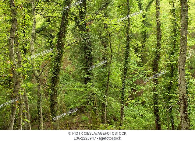 Deciduous wood in Tuscany