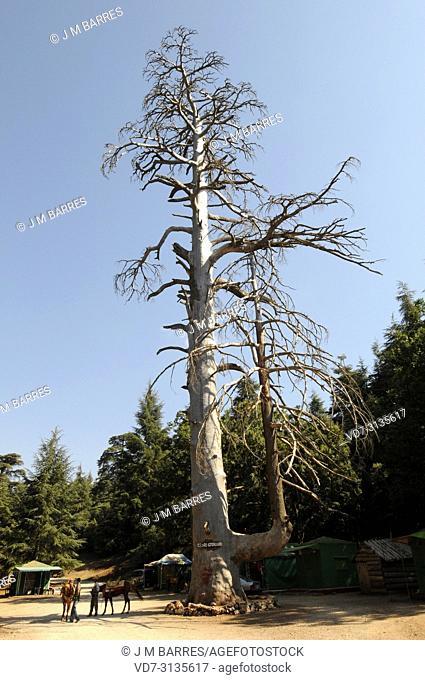 Atlas cedar (Cedrus atlantica) is a coniferous tree native to Atlas. Dead tree Cedre Gouraud. This photo was taken in Atlas Mountains, Morocco