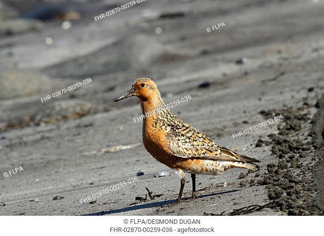 Knot (Calidris canutus) adult, breeding plumage, passage migrant standing on volcanic black sand beach, Northeastern Iceland, June