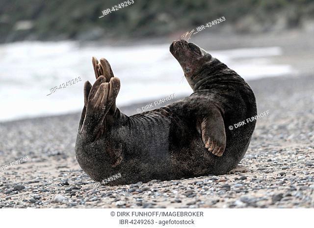 Grey seal (Halichoerus grypus) bull, doing gymnastics on beach, Heligoland, Schleswig-Holstein, Germany