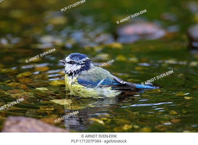 Eurasian blue tit (Cyanistes caeruleus) bathing in shallow water of brook