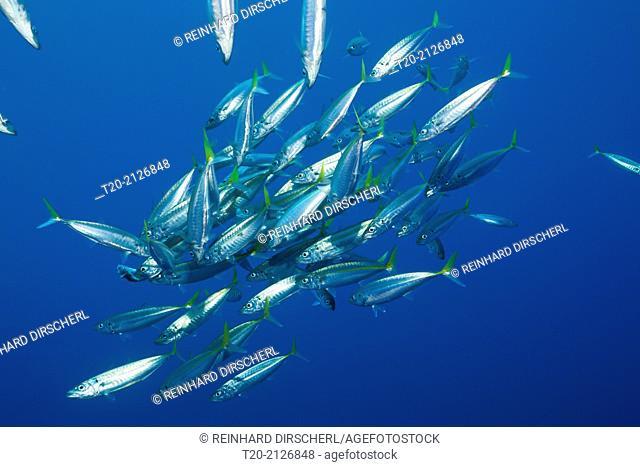 Pacific Jack Mackerels, Trachurus symmetricus, Guadalupe Island, Mexico