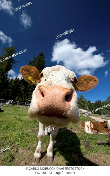 Cow in South Tyrol mountains, Bolzano, Italy