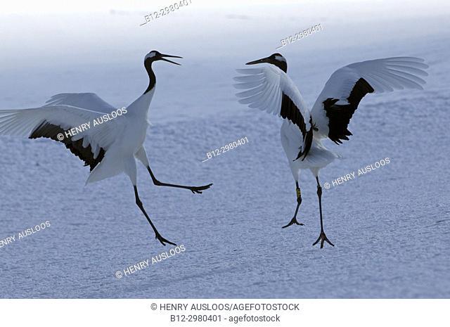 Japanese crane, Red-crowned crane (Grus japonensis) couple dancing, Japan