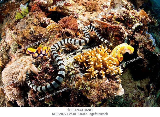 Banded sea snake, Laticauda colubrina , Halmahera, Moluccas Sea, Indonesia, Pacific Ocean