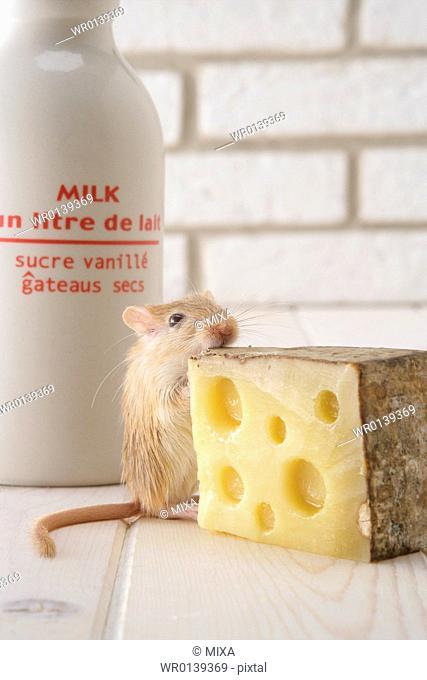 Gerbil eating cheese
