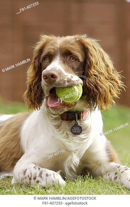 Springer Spaniel dog lying on grass with tennis ball in mouth, England, UK