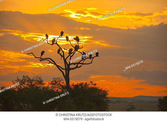Vultures silhouetted in a dead tree at sunrise, Kenya Maasai Mara National Reserve, Kenya
